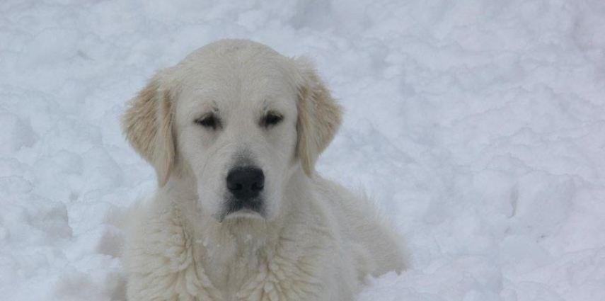 Golden Retriever – Giochi nella neve